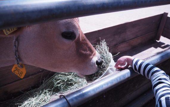 牛さんにえさやり体験
