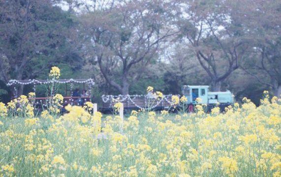 満開の菜の花畑のまわりを走るトロッコ列車